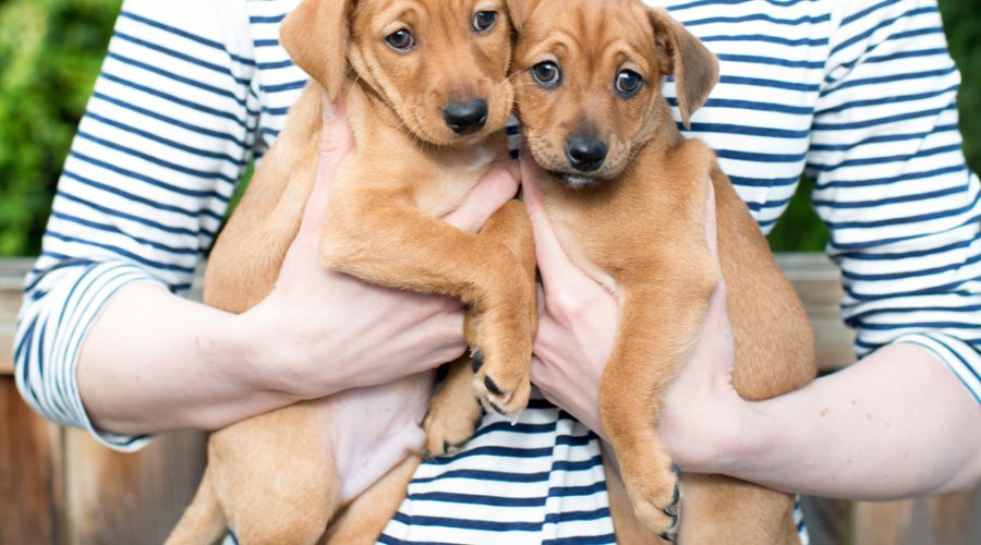Avoid Adopting Puppies from the Same Litter