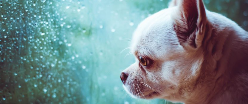 Dog Trainer Tips for Battling Separation Anxiety