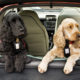 Puppy Training Plan to Prevent Car Sickness