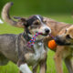 Can Fearful Dogs Benefit from Having a Packmate?