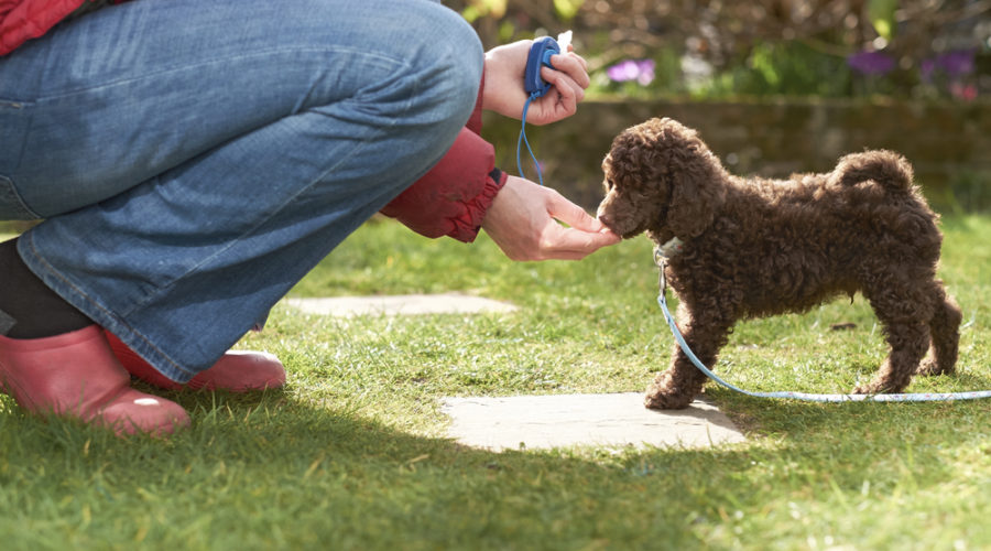 Does Clicker Training Work for Dogs?